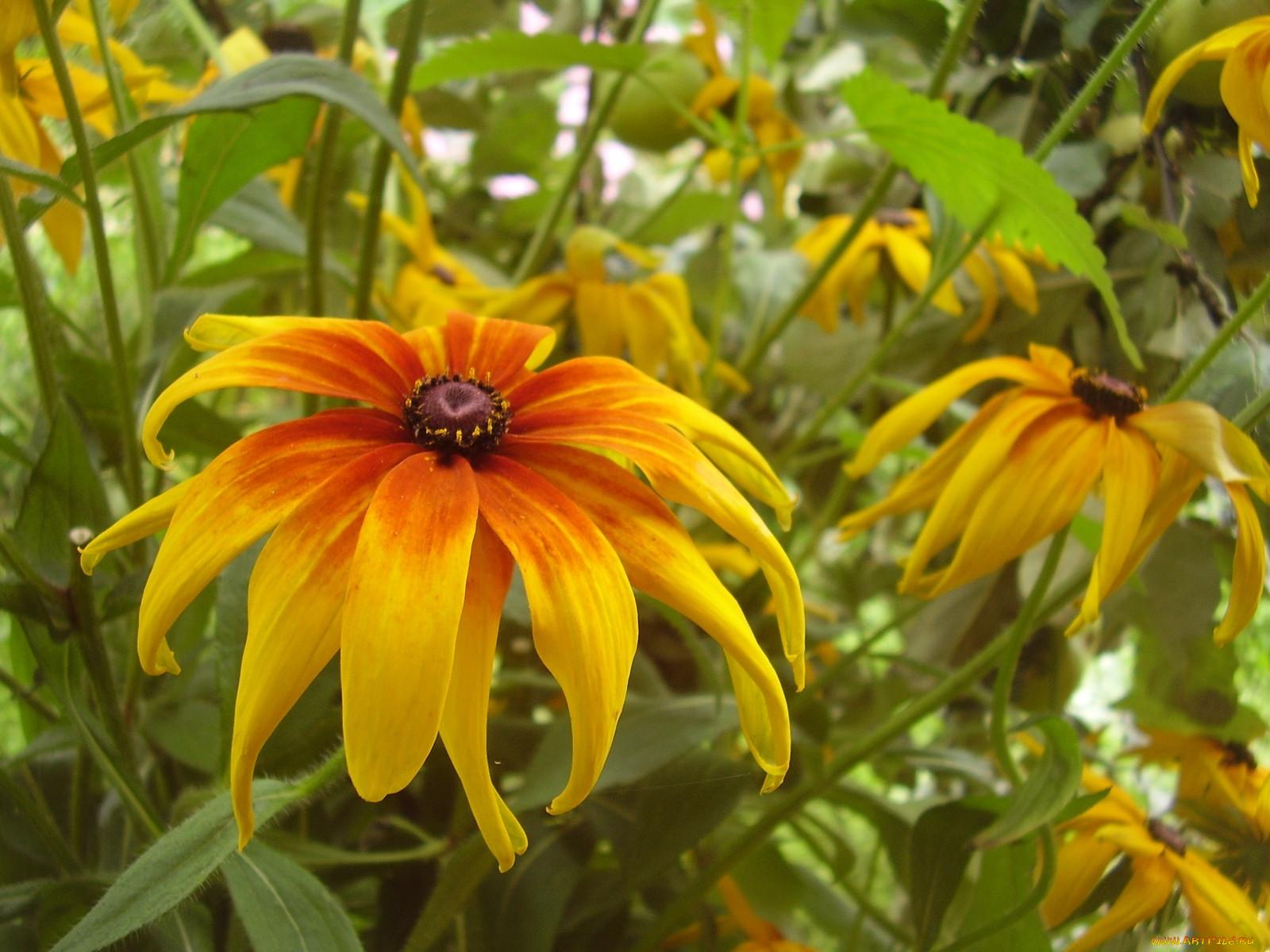 Фото цветка рудбекия мирабилис начала необходимо